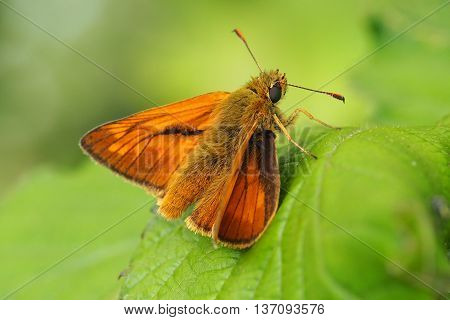 Essex Skipper Butterfliy (Thymelicus Lineola) basking on a Leaf