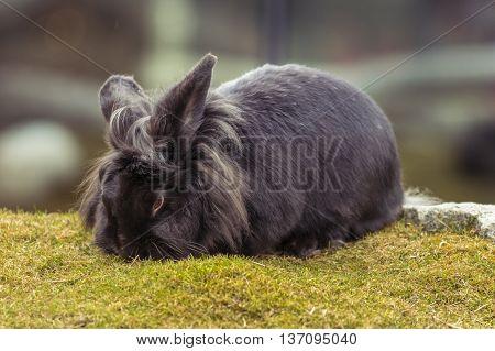 Black Rabbit. Rabbit On The Lawn. Rabbit On Green Grass.