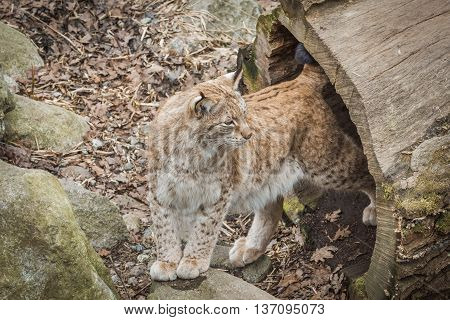 Eurasian Lynx. Felis Lynx.it Is A Wild Cat With Yellowish-brown Fur (sometimes Spotted), A Short Tai