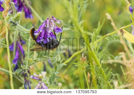 Bee On Flower. Bee Pollinating Spring Flowers. Summer Bee. Honey Bee On Flower. Closeup Of A Bee. Ho