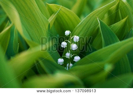Flower lily of the valley in green leaves.