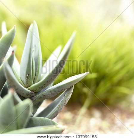 Low angle view of a succulent or agave plant in the sun with copy space. Selective focus of a desert plant with defocused background. Echeveria.
