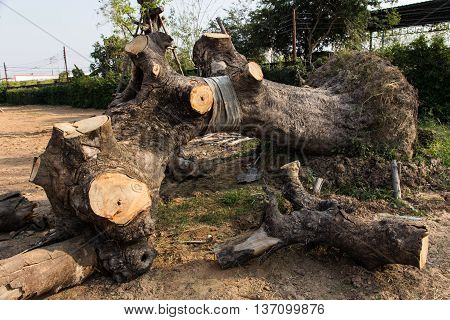 nature cutting trees for firewood in Thailand.