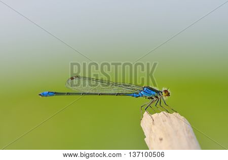 Dragonfly of type of Coenagrionidae on green background