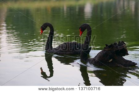 Swimming two black swans on a lake in spring