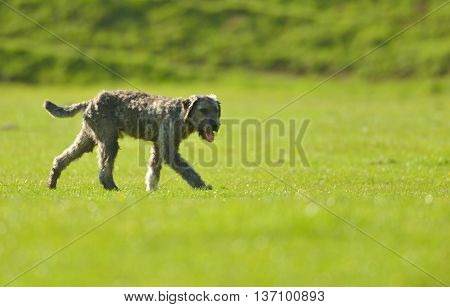 shepherd dog on meadow in spring time