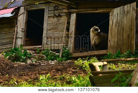 Sheep in the door of an old stable