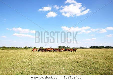 Thoroughbred gidran foals and mares grazing peaceful together on summer meadow
