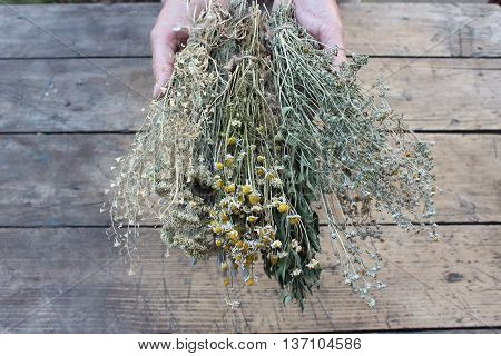 Dry grass camomile wormwood in his hands on a background of boards