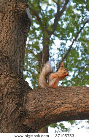 Furry squirrel sitting on a branch and eating nuts