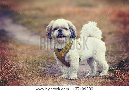Toned portrait of a cute dog shitzu -- soft selective focus