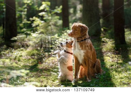 Toller dog and Jack Russell Terrier in a forest