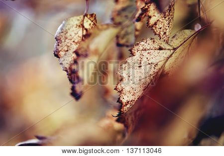 Withered leaves on the branches of a hawthorn tree in late autumn.