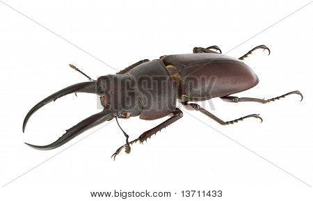 Prosopocoilus Gracilis