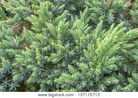 Evergreen juniper background. Photo of bush with green needles