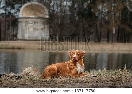 Autumn, Toller Dog In The Park