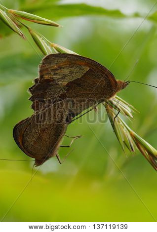Meadow Brown Butterflies Copulating on a branch (Manolia Jurtina)