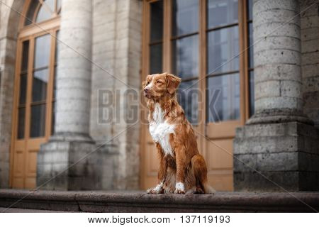 Toller Dog Sitting At A Building