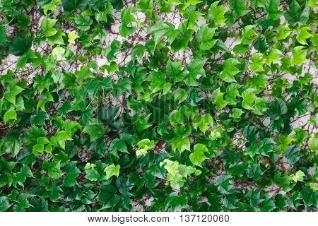 Curly green creeping ivy on a white wall as a texture