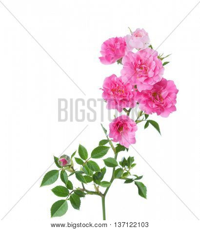 Branch with small  pink roses isolated on white.  selective focus