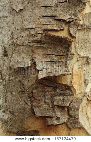 Close-up cracked of bark at the tree