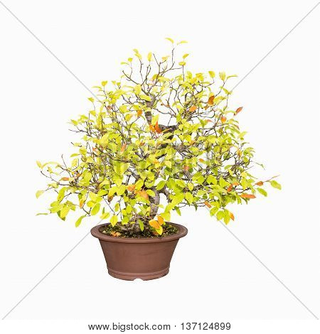 bonsai tree of crabapple isolated on a white background