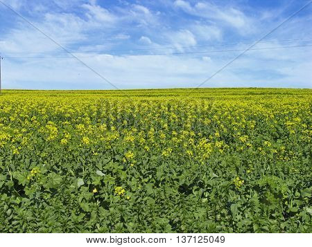 Canola Fields Durbanville, Cape Town South Africa
