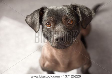 Puppy of mixed peruvian dog looking straight to the camera. Photograph taken from high view point