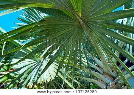 Close up of palm tree.Background image is filled with fronds from tropical Fan Palm. Thailand