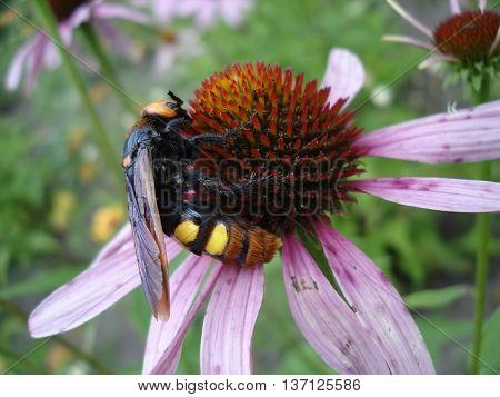 Mammoth Wasp Female (megascolia Maculata Flavifrons) On A Eastern Purple Coneflower Flower