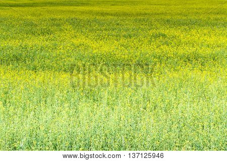 Yellow Rapes Field