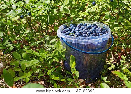Bucket with wild blueberries in the grass with berries on a Sunny day.