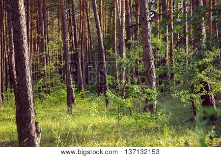 pine forest with green grassy glade in the foreground and sunlight