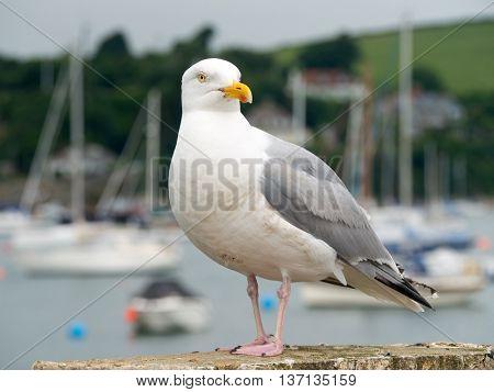 Seagull bird in Falmouth, Cornwall England.