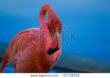 Beautiful pink flamingo with yellow eyes standing near the lake.