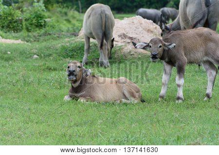 black calf buffalo kneel in the garden