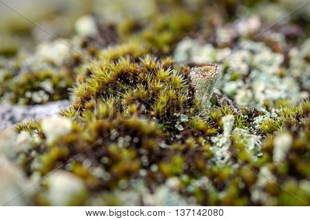 Colorful abstract natural background of green moss and lichen family cladonia growing on rocks in the mountains with drops of morning dew