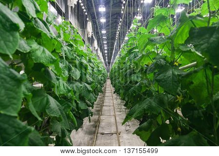 Picture a large, fertile, covered cucumber greenhouses with artificial lighting