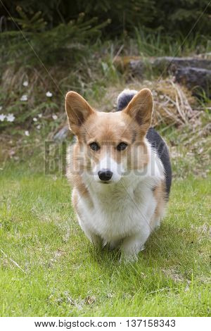 a young welsh corgi approaching the camera