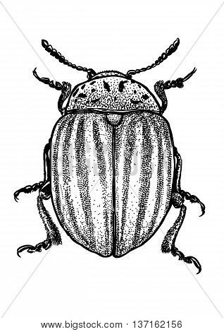 engraved, drawn,  illustration, insect, Colorado, potato, beetle