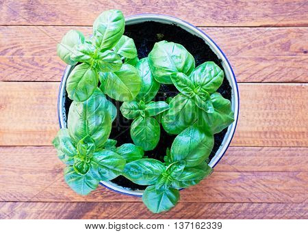Top view of young basil sprigs planted in a ceramic painted bowl