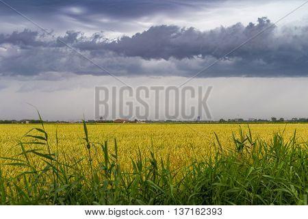 Green Wheat Field Under Stormy Dramatic Skies On Belgian Coast