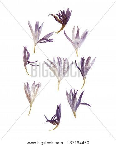 Dry pressed thin translucent petals of cornflower perspective delicate vivid blue flowers isolated