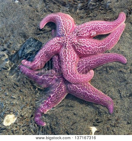 Two purple starfish jockey for the best position in shallow water.