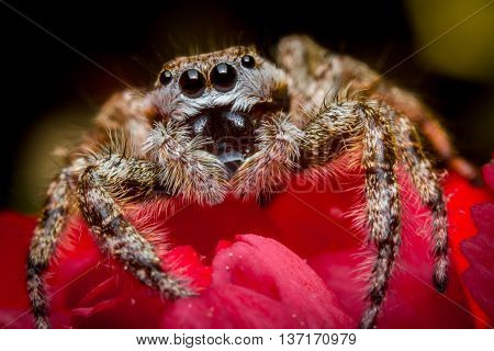 Super macro close up jumping spider on red rose