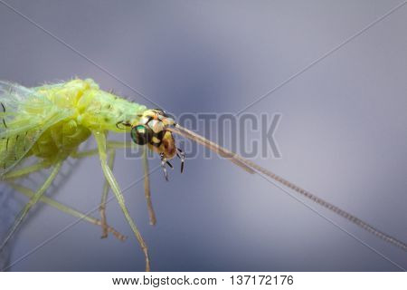 Common green lacewing fly or stinkfly in closeup macro image against blue sky