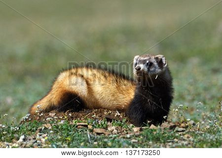 The steppe polecat or masked polecat in  natural habitat (Mustela eversmanii)