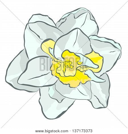 Magnificent white narcissus with yellow center. Vector icon for print website cards textiles