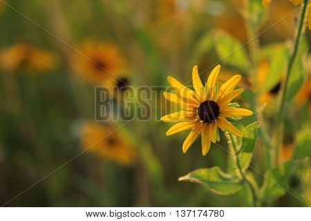 Colorful Black Eyed Susan with blurred background.