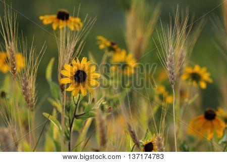 Field of Black Eyed Susan's growing amongst wheat.